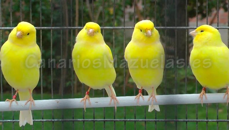 canarios amarillos intensos
