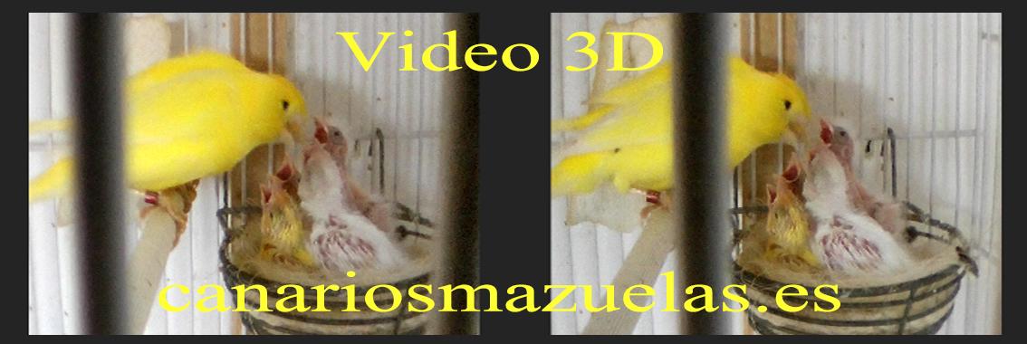 video-3D-canarios-dando-de-comer-a-sus-crias-en-el-nido