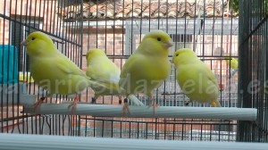 4-canarios-hembras-amarillos-nevado
