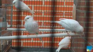 canarios-blancos-recesivos-300x168