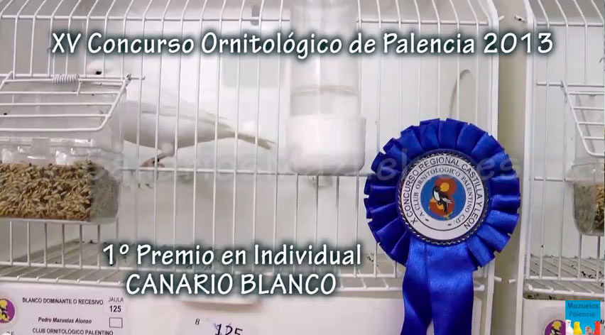 canario-blanco-campeon-paelncia-2013