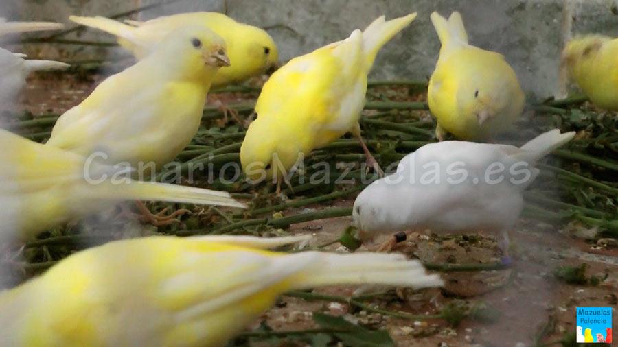 canarios-comiendo-cardo-lecheril
