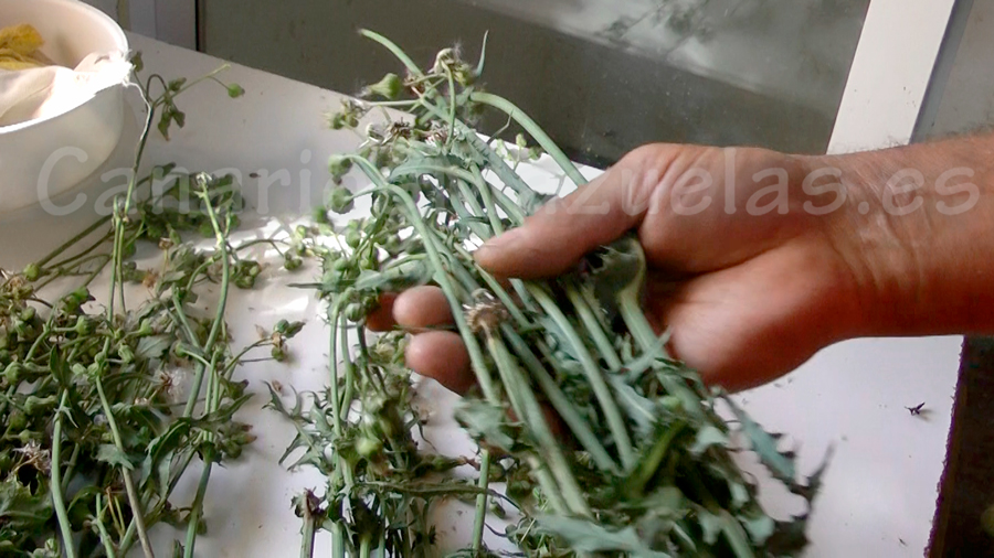 canarios-comiendo-cardo-lecherill-cerraja-semillas-en-la-planta