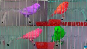 canarios-de-colores