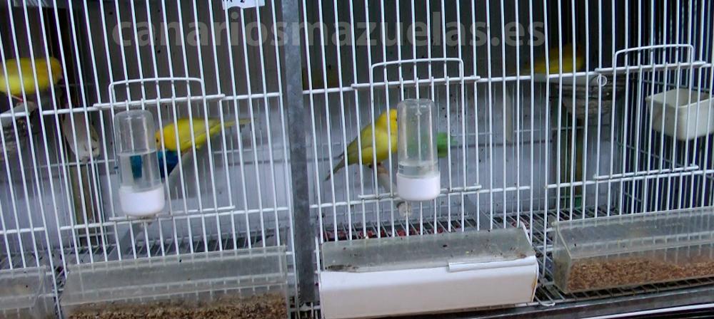 intercambio-de-parejas-canarios-machos-con-varias-hembras
