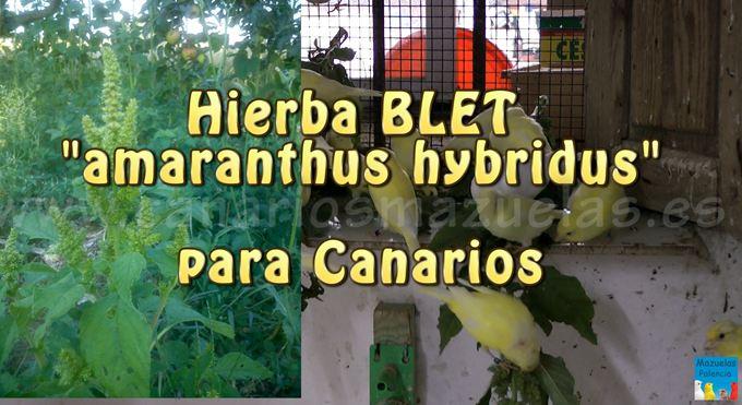 hierba blet bledo canarios