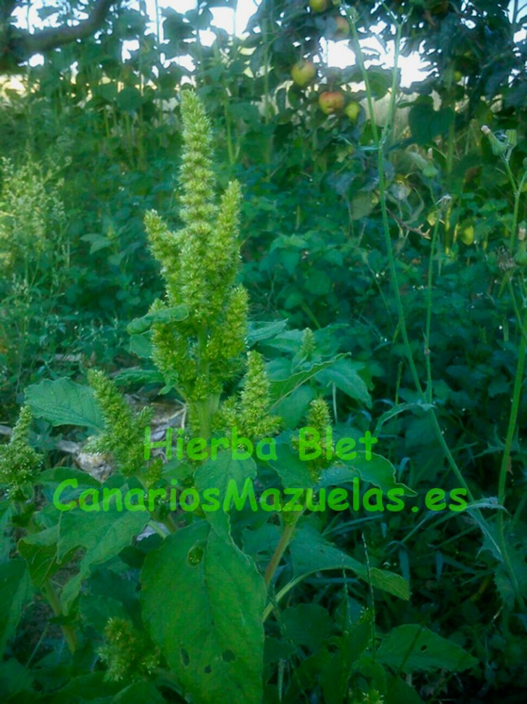 web-hierbas-para-canarios-mazuelas.es