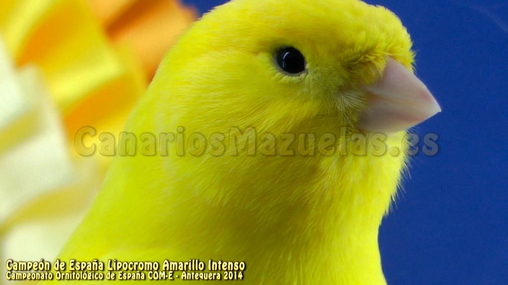 canario-amarillo-intenso-campeon-de-españa-2014