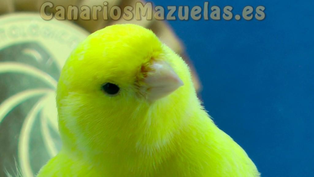 canarios-amarillo-intenso-lipocromo