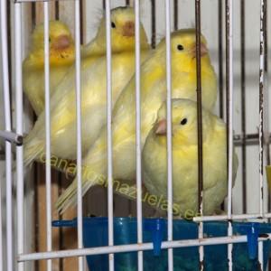 canarios-pigmentados-amarillos