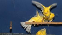 picaje-de-plumas-aves-canarios